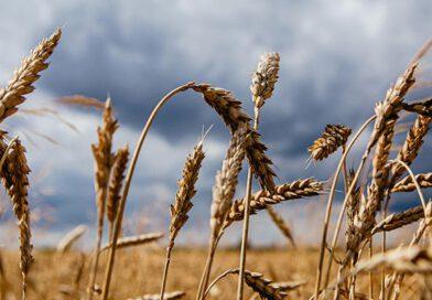 """Çiftçi-Sen: """"Hububatta Referans Fiyatı Yeniden Belirlenmelidir"""""""